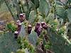 AZ-CTS-Opuntia laevis 2019.4.29#123. The Smooth or Spineless Prickly Pear cactus. Box Canyon, Santa Rita Mountains Arizona.