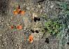 AZ-F-Sphaeralcea grossulariifolia 2020.4.27#0511.3. Gooseberryleaf Globemallow. The Dells, Watson Lake Prescot Arizona.