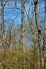 PA-TS-Carya ovata 2008.4.17#325.3. Shagbark Hickory. Bowman's Hill, Bucks County Pennsylvania.