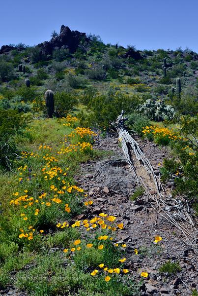 AZ-DS-Desertscape 2019.3.14#053. Eschscholzia Poppy. Picacho Peak State Park, Arizona.