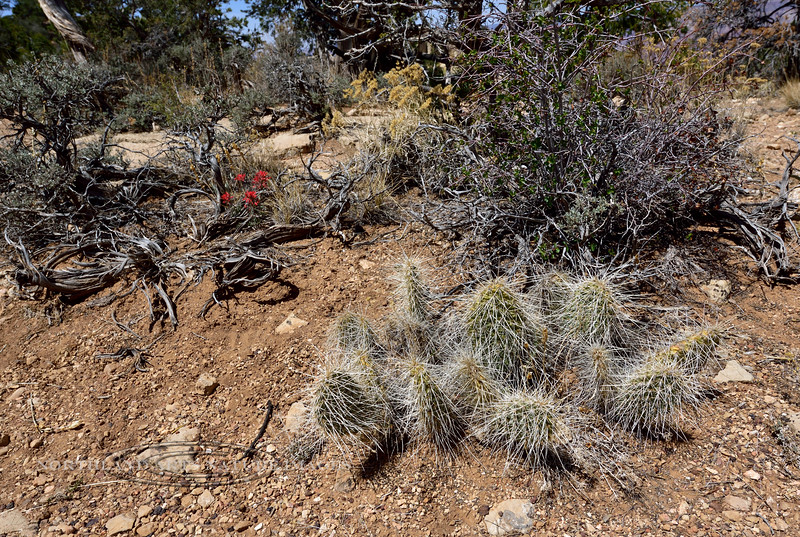 AZ-CTS-Opuntia polycantha var. erinacea 2018.4.26#047. The Mohave Prickly Pear cactus. Kaibab Forest, Coconino County Arizona.