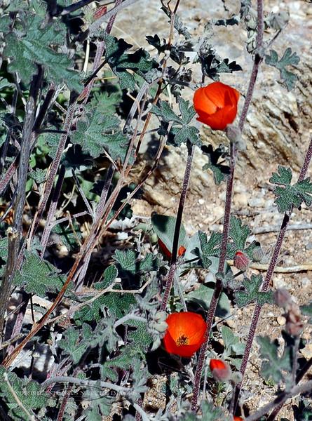 AZ-F-Sphaeralcea species 2007.3.5#0132, Globe mallow in a Red form. Sonoran Desert RT19, Arizona.