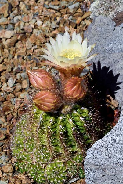 AZ-CTS-Echinopsis trichocereus 2018.5.13#008, the Torch Cactus. Yavapai County Arizona.