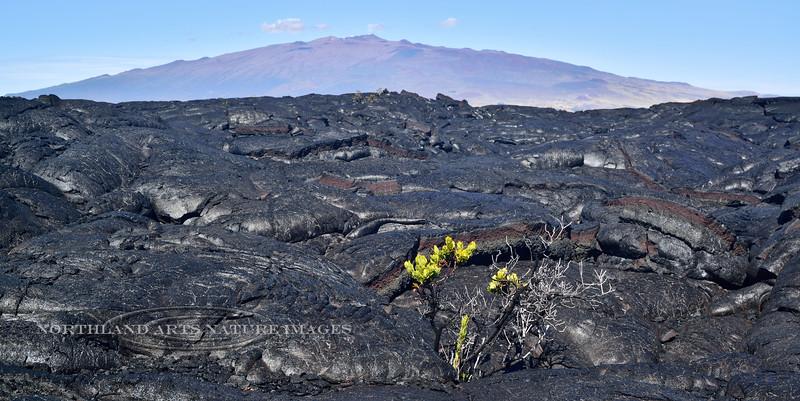 HI-F-Vaccinium 2015.2.2#112. Colonizing Lava on Mauna loa, Mauna Kea in background.
