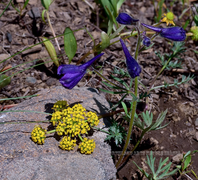 WY-F-Lomatium cous 2019.6.20#1531, Cous Biscuitroot. Mount Bradford, Yellowstone Park Wyoming.
