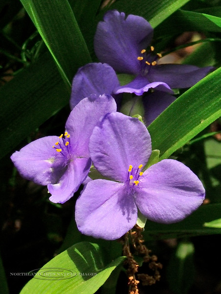 PA-Tradescantia virginiana, Spiderwort. Bucks County, Pennsylvania. #56.099. 3x4 ratio format.
