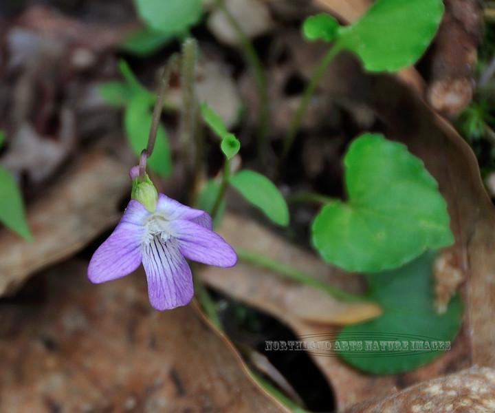PA-F-Viola triloba 2010.4.27#063.3. Three-lobed Violet. Honeysuckle Lane, Bucks County Pennsylvania.