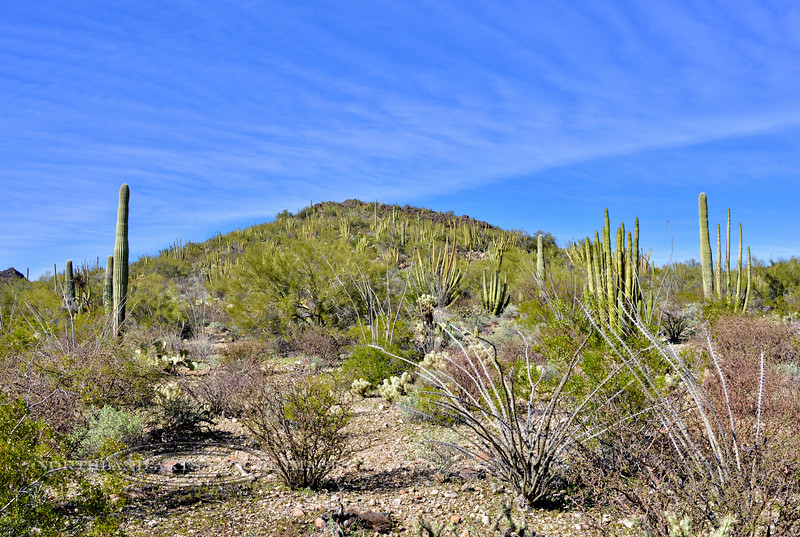 AZ-CTS-Stenocereus therberi 2019.3.5#094, the Organ Pipe Cactus. Organ Pipe Cactus NM, Arizona.