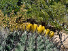 AZ-CTS-Ferrocactus wislizenii 2019.4.28#033, the Fishook Barrel. Still showing last season's fruits. Pima County Arizona.