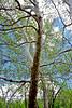 AZ-TS-Platanus wrightii 2016.4.26#233.3. Arizona Sycamore. Red Rock State Park, Arizona.