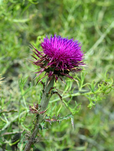WY-F-Carduus nutans 2018.7.4#3922, the Musk Thistle. Yellowstone NP Wyoming.