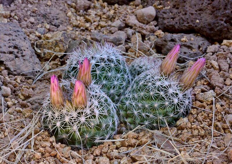 AZ-CTS-Escobaria vivipara 2020.5.26#0216.4. Buds forming on a beehive cactus. Yavapai County Arizona.