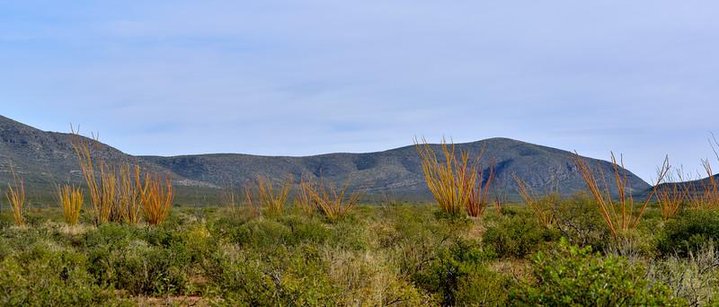 AZ-AOY-Fouquieria splendens 2019.11.7#2322.4. Ocotillo in brilliant fall color. Chihuahua Desert near Douglas Arizona.