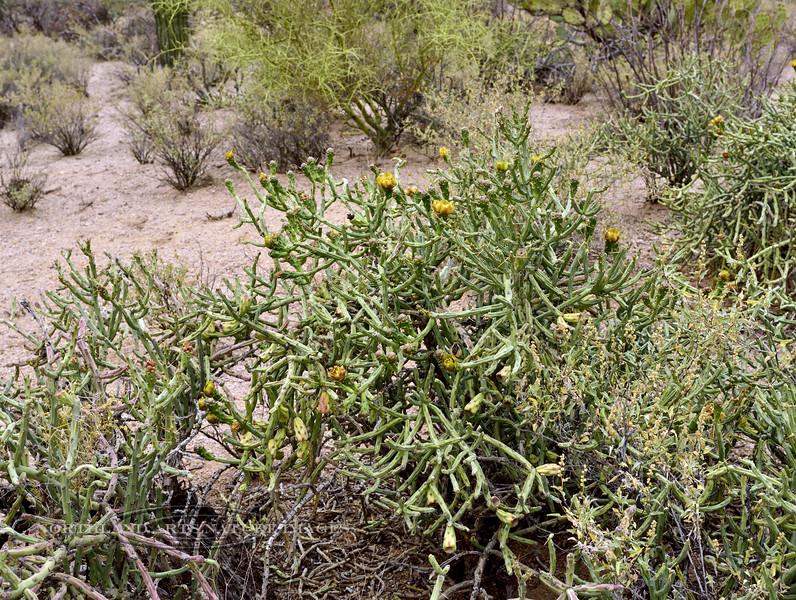 AZ-CTS-Cylindropuntia arbuscula 2018.5.1#453. The Arizona Pencil Cholla. Sonoran Desert Arizona.