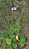 AZ-F-Sidalcea neomexicana 2020.7.12#0956.2. New Mexican Checermallow. Mongollon Rim, east of Clint Wells Arizona.