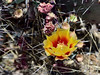 AZ-CTS-Opuntia macrocentra 2018.4.20#075, the Black-spine Prickly Pear Cactus. Picacho Peak, Arizona.