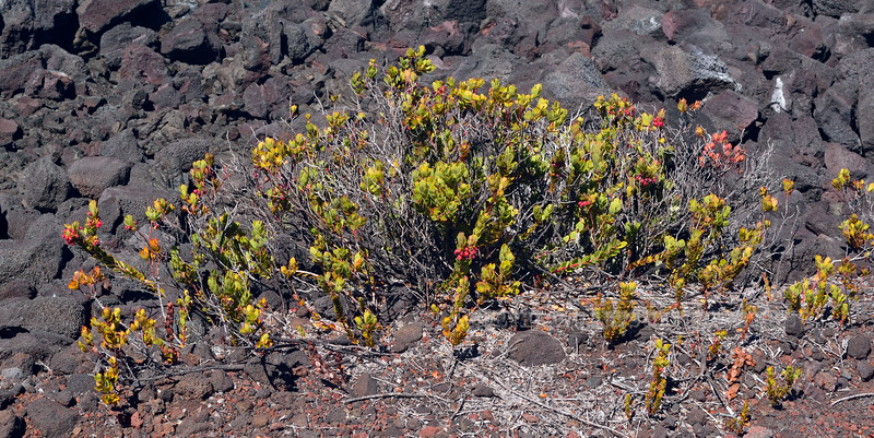 HI-F-Vaccinium reticulatum 2015.2.2#116. the Hawaiian Blueberry. Maina Loa Volcano, Hawaii.