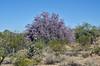 AZ-TS-Olneya tesota 2021.5.11#6946.2. Desert Ironwood. Near Lake Pleasant, Yavapai County Arizona.