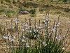 AZ-F-Allium macropetalum 2018.4.10#632, the Desert Onion. Near Bisbee Arizona.