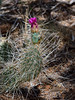 AZ-CTS-Opuntia polycantha var. erinacea 2018.6.6#181. The Mohave Prickly Pear cactus. South Rim of the Grand Canyon NP Arizona.