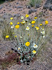 AZ-F-Baileya multiradiata 2018.4.13#1154, the Desert Marigold. RT88, near Roosevelt Arizona.