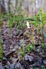 PA-F-Uvularia perfoliata 2016.5.12#019.2. Perfoliate Bellwort. Pike County Pennsylvania.