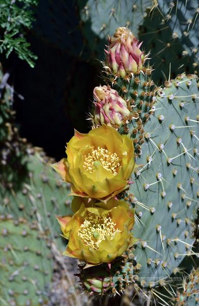 AZ-CTS-Opuntia chlorotica 2020.5.22#9825.2. Pancake Prickly Pear cactus. Route 71 southwest of Congress Arizona.