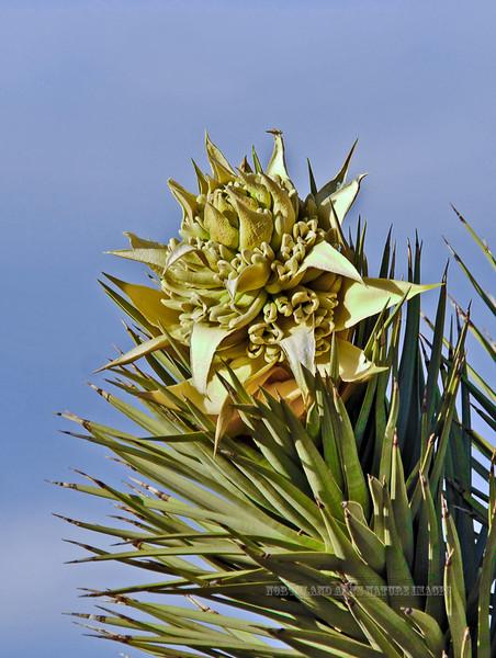 CA-AOY-Yucca breviifolia 2007.2.27#0067.7. The Joshua Tree. KOA, Needles California.