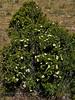 NV-TS-Purshia maybe glandulosa 2017.5.20#728. Bitterbrush/Desert Rose. Rt 95, Nevada.