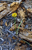 AZ-F-Triteleia lemmoniae 2019.6.5#334.2. The Lemmon's Star, a rare plant. North of Strawberry Arizona.