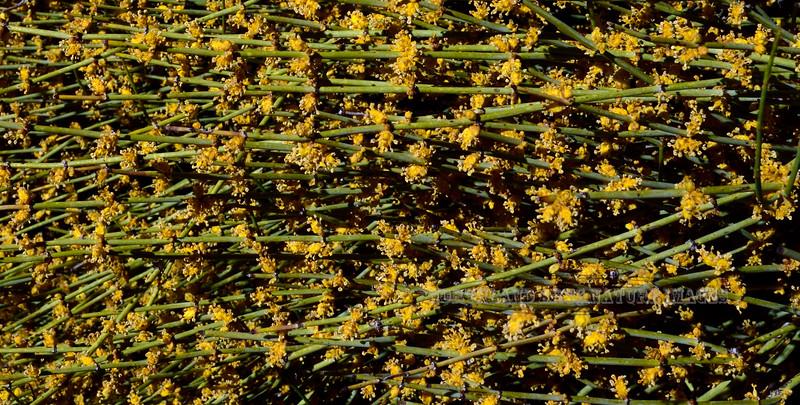 AZ-TS-Ephedra viridis 2019.4.19#621, the Mormon Tea. Verde Valley Arizona.