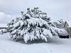 AZ-TS-Pinus nigra 2021.1.26#0341.1x. Austrian Black Pine. Prescott Valley Arizona.