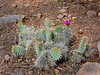 AZ-CTS-Opuntia polycantha var. erinacea 2018.6.6#080. The pink form of the Mohave Prickly Pear Cactus. Kaibab Forest, Coconino County Arizona.