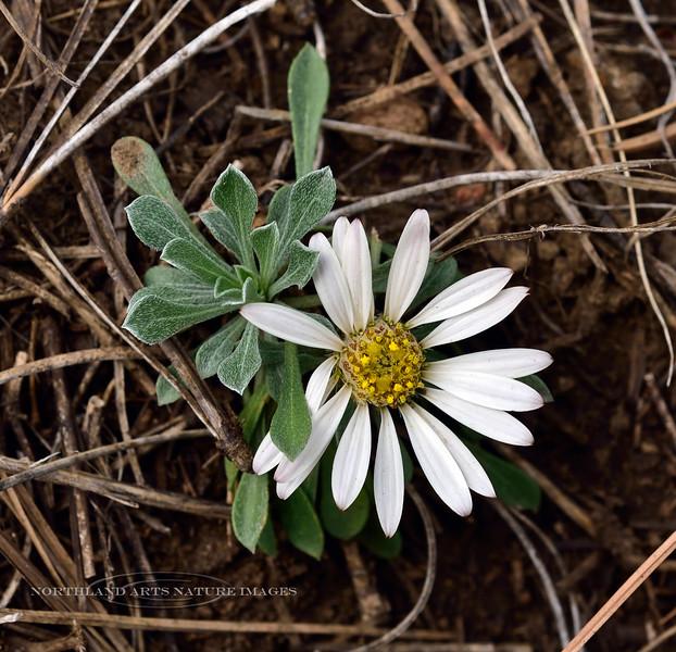 AZ-F-Townsendia exscapa 2019.5.11#090.3. Stemless Townsend Daisy, uncommon. Mingus Mountain, Arizona.