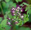 WY-F-Thalictrum occidentale 2019.6.20#1718. Western Meadow-Rue, female flowers. Campground area, Yellowstone Park Wyoming.