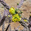 AZ-CTS-Cylindropuntia versicolor 2018.5.1#223. The Staghorn Cholla. Saguaro West NP, Pima County Arizona.