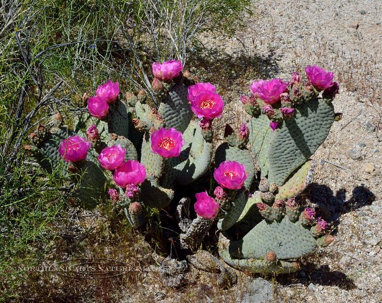NV-CTS-Opuntia basilaris 2020.4.15#9690.3. Beavertail Prickly Pear cactus. Newberry Mountains Nevada.