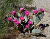NV-CTS-Opuntia basilaris 2020.4.15#9690.3. Beavertail Prickly Pear cactus. Newberry Mountains Nevada.