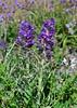 WY-F-Phacelia sericea 2019.6.20#1557. The Silky Phacelia. Mount Washburn, Yellowstone Park Wyoming.