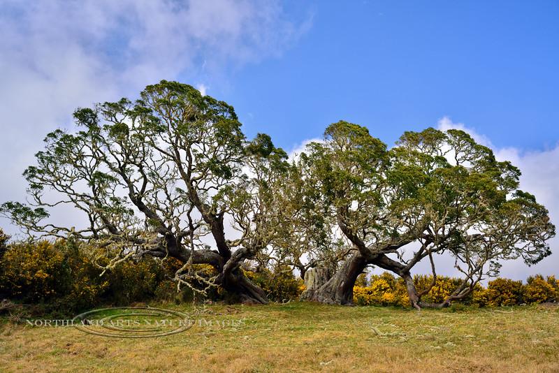 HI-TS-Koa Trees 2015.2.6#285. Keanakolu Road, Mauna Kea, Hawaii.