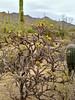 AZ-CTS-Cylindropuntia acanthocarpa 2018.5.1#429. The Buckhorn Cholla. Sonora Desert, Arizona.
