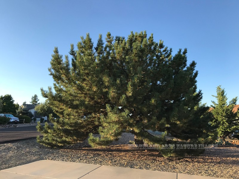 AZ-TS-Pinus nigra 2020.8.5#6369.1. Austrian Black Pine. Mariner, Prescott Valley Arizona.