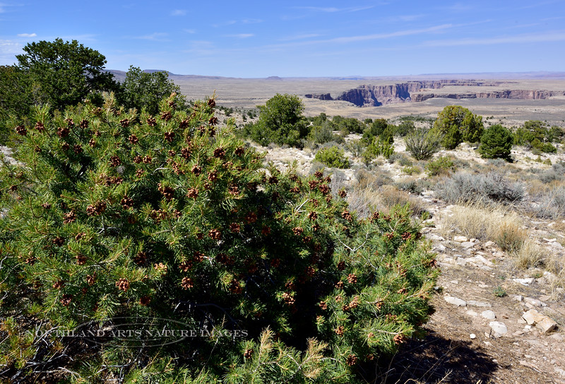 AZ-TS-Pinus edulis 2018.4.26#096.2. A Two Needle Pinion pine growing more like a shrub in the arid breaks of the little Colorado River on the Navajo Nation in Arizona.