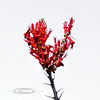 AZ-AOY-Fouquieria splendens 2018.5.5#1342, Ocotillo. Clifton, Arizona.