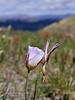 AZ-F-Calochortus flexuosus 2019.4.17#100, the Winding Mariposa Lilly. Mingus Mountain Arizona.