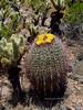 AZ-CTS-Ferocactus cylindraceus 2020.5.22a#3066.1X. Compass Barrel cactus. Hills north of Aguila Arizona.