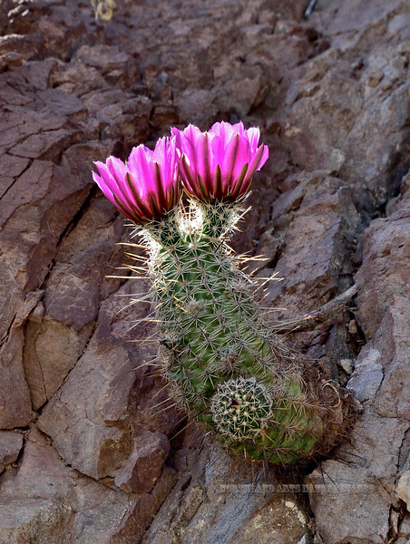 AZ-CTS-Echinocereus fasciculatus 2018.4.12#2484, the Pink-flowered Hedgehog. Near Clifton, Cochise County, Arizona.