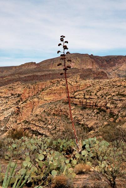 AZ-AOY-Agave chrysantha 2007.3.4#0068, the Golden-flowered Agave. Summit area above Fish Creek hill, Apache Trail, AZ.