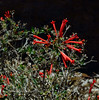 AZ-F-Bouvardia ternifolia 2018.5.5#723, the Firecracker Bush. Chiricahua  Mountains Arizona.