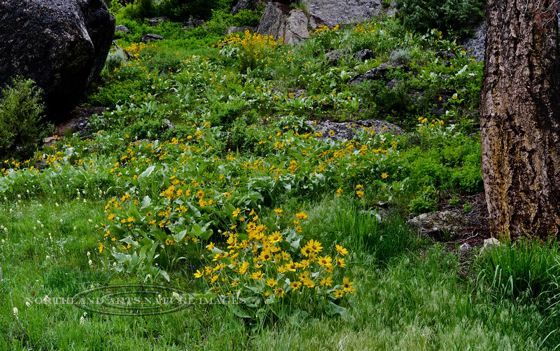 WY-F-Balsamorhiza sagittata 2019.6.20#1210, the Arrowleaf Balsamroot. Lamar Canyon, Yellowstone Park Wyoming.